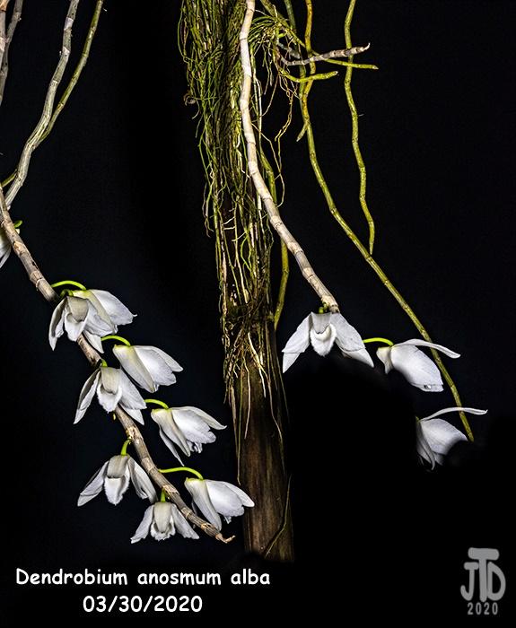 Name:  Dendrobium anosmum alba1 03302020.jpg Views: 69 Size:  178.1 KB