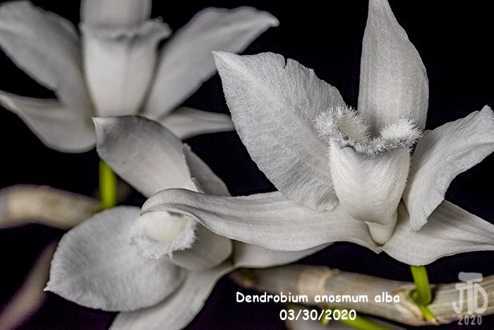 Name:  Dendrobium anosmum alba2 03302020.jpg Views: 71 Size:  124.2 KB
