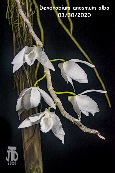 Name:  Dendrobium anosmum alba3 03302020.jpg Views: 69 Size:  142.1 KB
