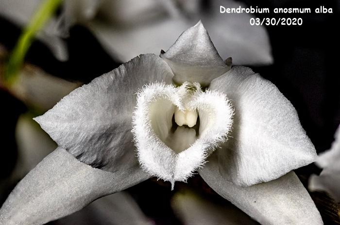 Name:  Dendrobium anosmum alba4 03302020.jpg Views: 71 Size:  129.9 KB