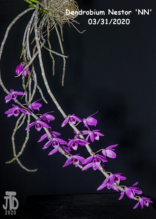 Name:  Dendrobium Nestor 'NN'1 03312020.jpg Views: 63 Size:  144.3 KB