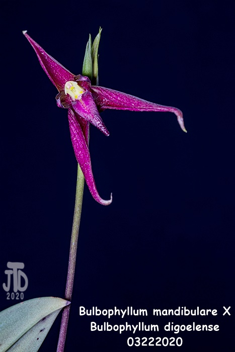 Name:  Bulbophyllum mandibulare X Bulbophyllum digoelense1 03212020.jpg