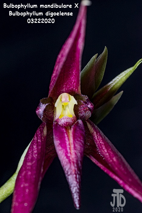 Name:  Bulbophyllum mandibulare X Bulbophyllum digoelense2 03212020.jpg