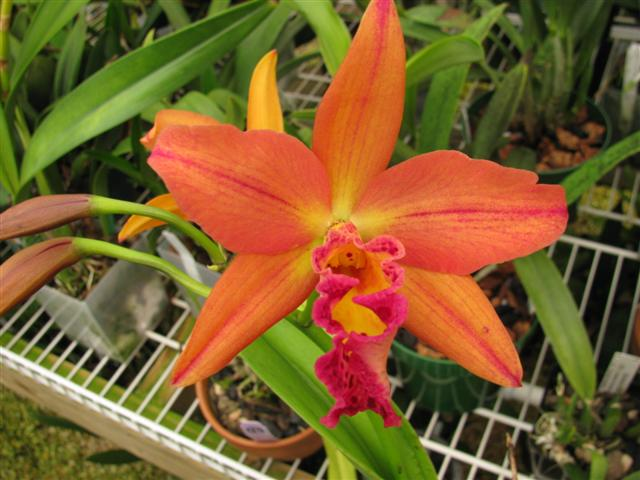Name:  Blc. Copper Queen 2 (Small).JPG Views: 1034 Size:  57.5 KB