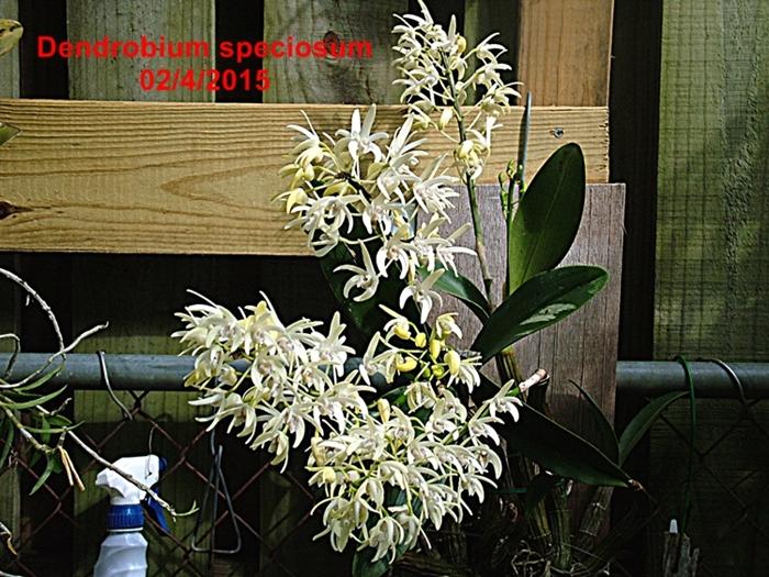 Name:  Dendrobium speciosum.JPG Views: 154 Size:  379.5 KB