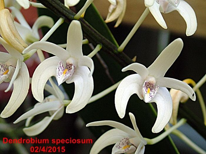 Name:  Dendrobium speciosum macro.JPG Views: 180 Size:  304.0 KB