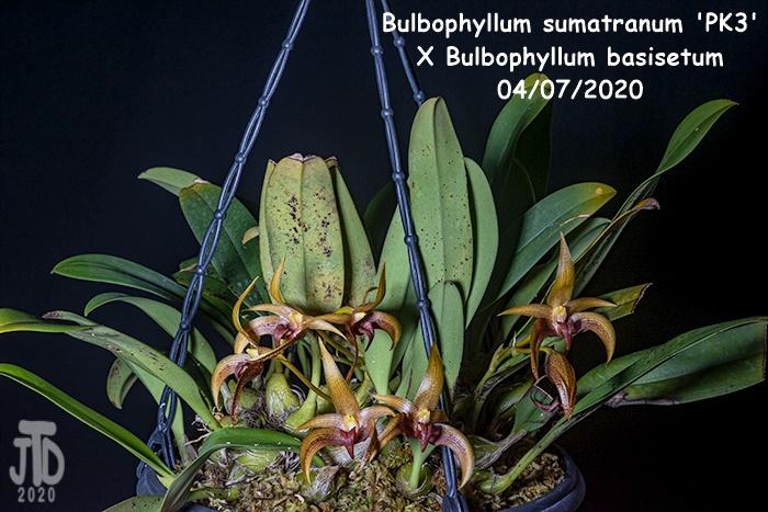 Name:  Bulbophyllum sumatranum 'PK3' X Bulbo. basisetum1 04072020.jpg Views: 57 Size:  161.2 KB
