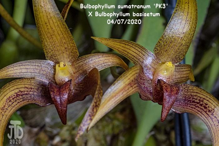 Name:  Bulbophyllum sumatranum 'PK3' X Bulbo. basisetum2 04072020.jpg Views: 58 Size:  161.9 KB
