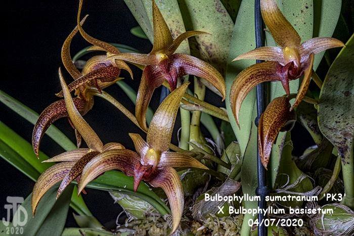 Name:  Bulbophyllum sumatranum 'PK3' X Bulbo. basisetum5 04072020.jpg Views: 56 Size:  200.1 KB