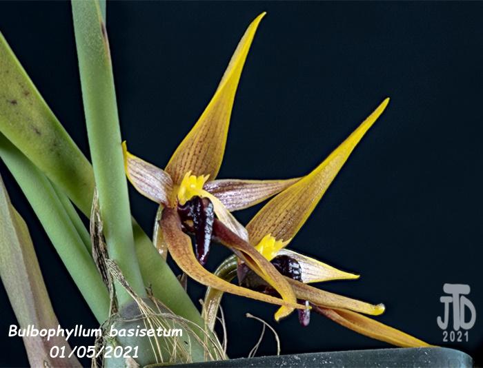 Name:  Bulbophyllum basisetum4 01052021.jpg Views: 106 Size:  126.3 KB