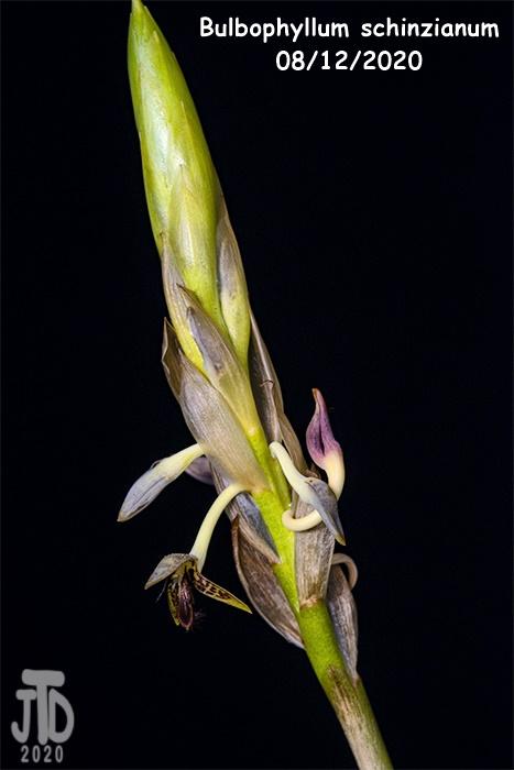 Name:  Bulbophyllum schinzianum2 08122020.jpg Views: 58 Size:  87.7 KB