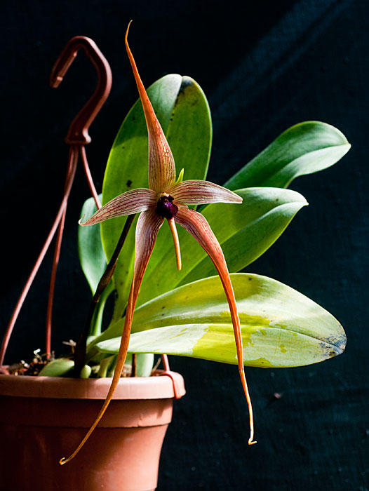 Name:  Bulbo-echinolabium.jpg Views: 2168 Size:  73.5 KB