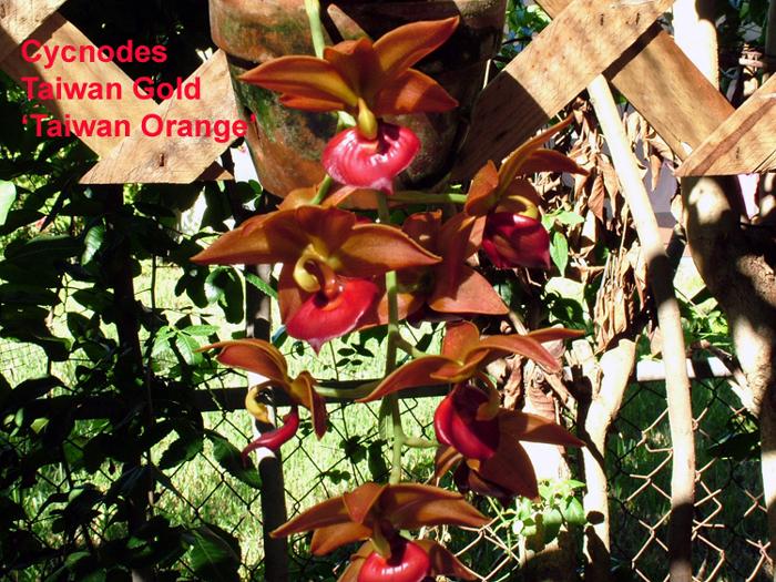 Name:  Cycnodes Taiwan Gold 'Taiwan Orange'OT.jpg Views: 2313 Size:  516.8 KB