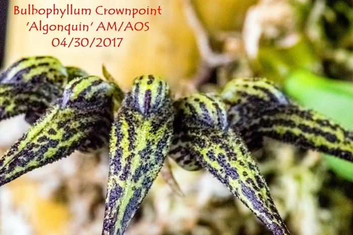 Name:  Bulbophyllum Crownpoint 'Algonquin' AM-AOS 100 mm.jpg Views: 135 Size:  309.0 KB