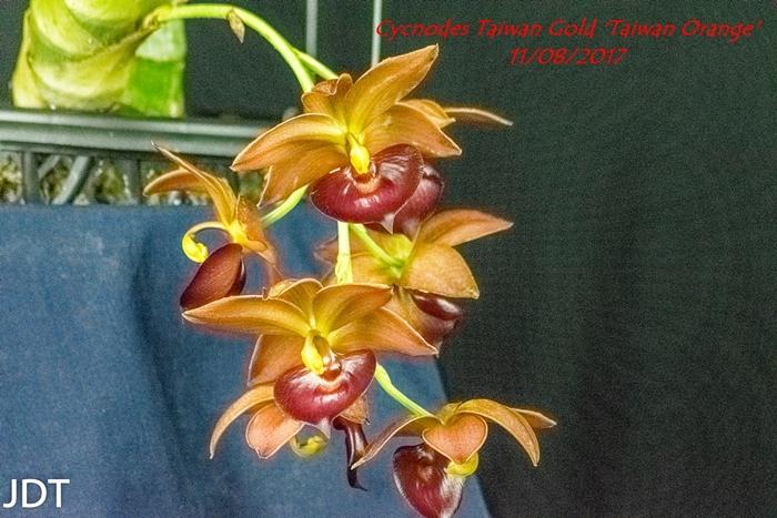 Name:  Cycnodes Taiwan Gold 'Taiwan Orange' 300mm 1117.jpg Views: 192 Size:  315.3 KB