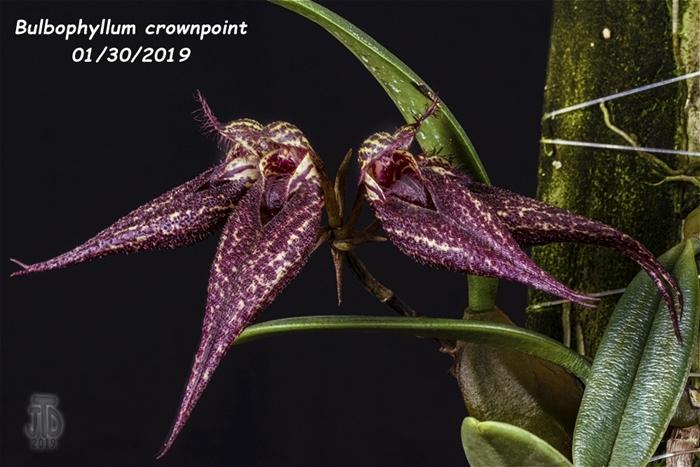 Name:  Bulbophyllum crownpoint AM-AOS1 01292019.jpg Views: 124 Size:  270.0 KB