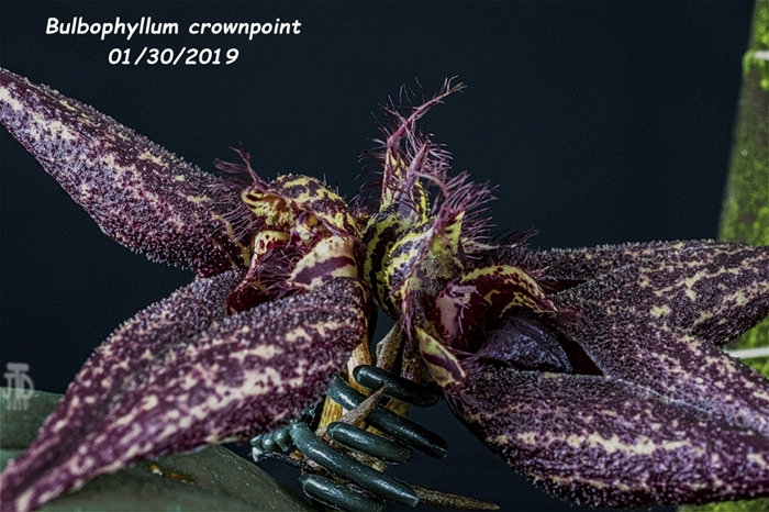 Name:  Bulbophyllum crownpoint AM-AOS4 01292019.jpg Views: 118 Size:  316.4 KB