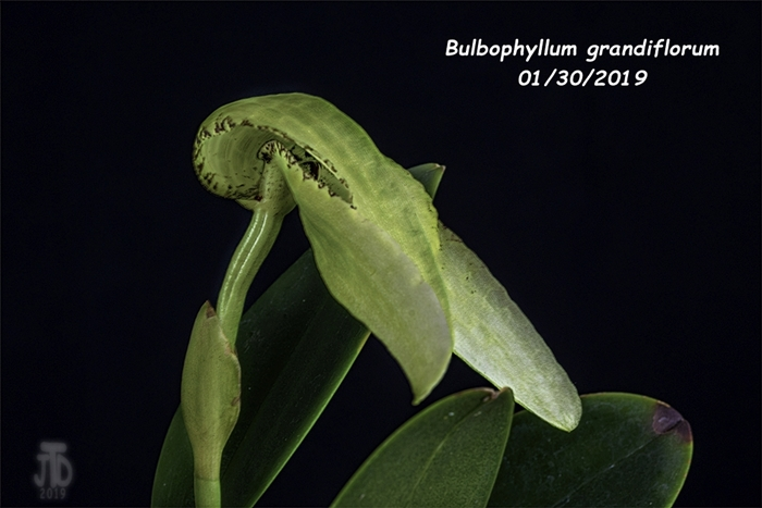 Name:  Bulbophyllum grandiflorum4 01292019.jpg