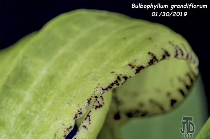 Name:  Bulbophyllum grandiflorum2 01292019.jpg