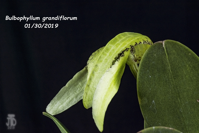 Name:  Bulbophyllum grandiflorum3 01292019.jpg