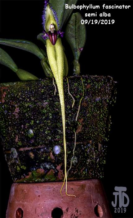 Name:  Bulbophyllum fascinator semi alba1 09192019.jpg Views: 152 Size:  142.5 KB