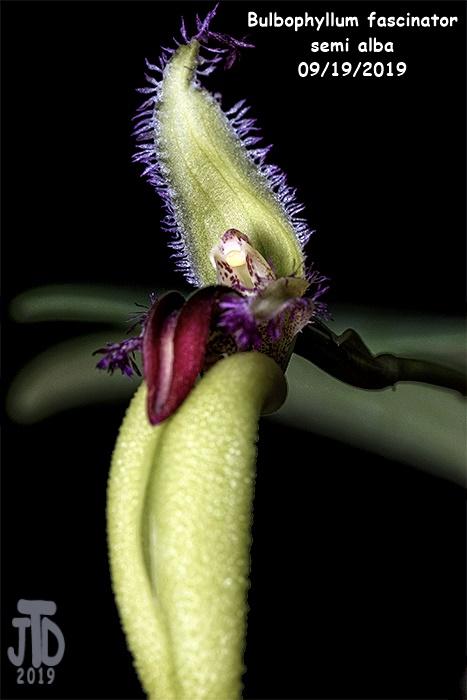 Name:  Bulbophyllum fascinator semi alba2 09192019.jpg Views: 128 Size:  95.4 KB