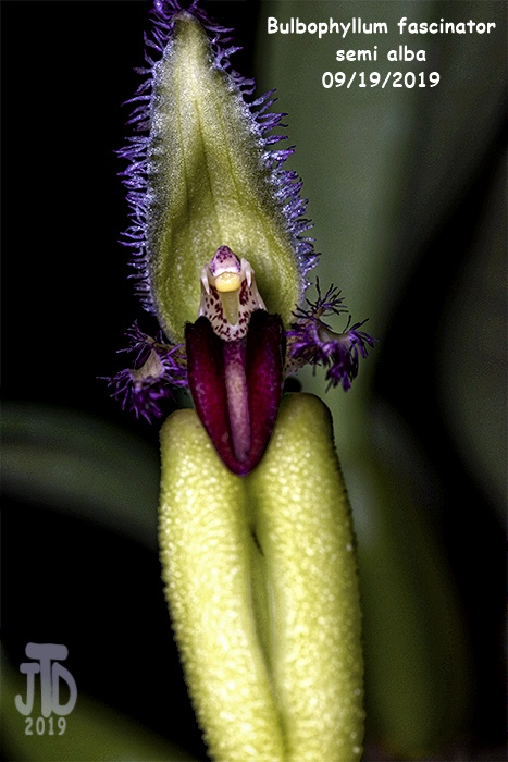 Name:  Bulbophyllum fascinator semi alba4 09192019.jpg Views: 121 Size:  124.9 KB