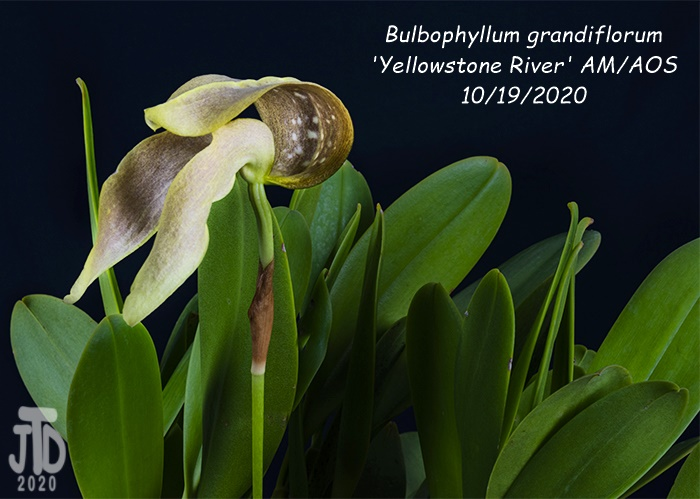 Name:  Bulbophyllum grandiflorum 'Yellowstone River' AMAOS3 10192020.jpg Views: 44 Size:  118.1 KB