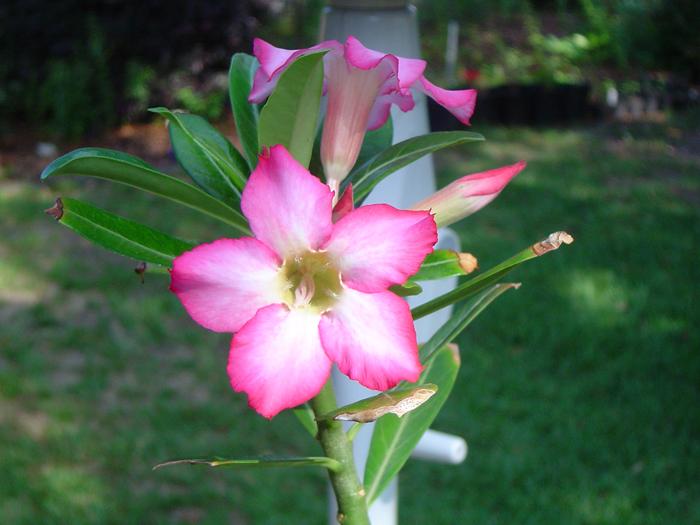 Name:  Desert Rose1_edited-2.jpg Views: 262 Size:  373.9 KB