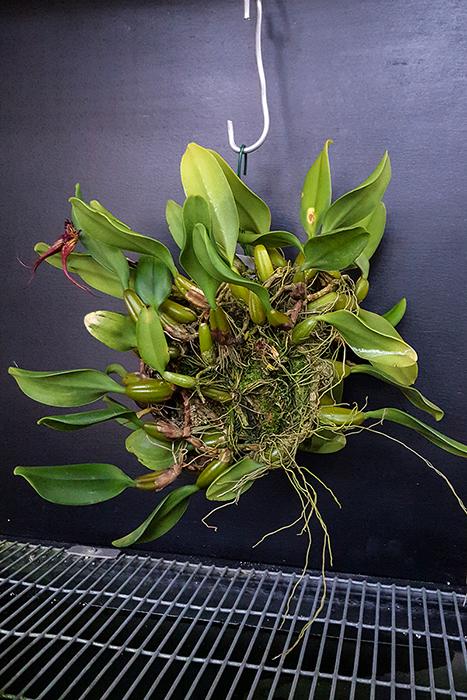 Name:  Bulbophyllum fascinator 700.jpg Views: 361 Size:  404.7 KB