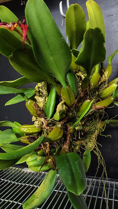 Name:  Bulbophyllum fascinator.jpg Views: 98 Size:  338.4 KB