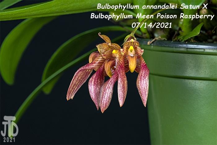 Name:  Bulbophyllum annandalei Satun X Bulbo. Meen Poison Raspberry4 08142021.jpg Views: 40 Size:  122.8 KB