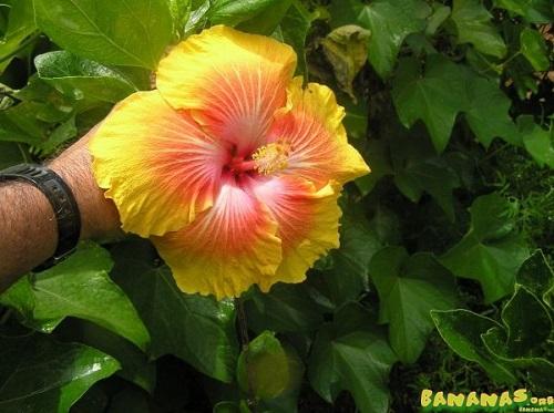Name:  Cashmere_Yellow_size_500.jpg Views: 147 Size:  73.8 KB