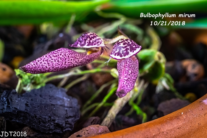 Name:  Bulbophyllum mirum2 10-21-2018.jpg