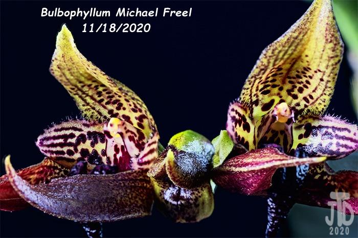 Name:  Bulbophyllum Michael Freel1 11182020.jpg Views: 52 Size:  176.9 KB