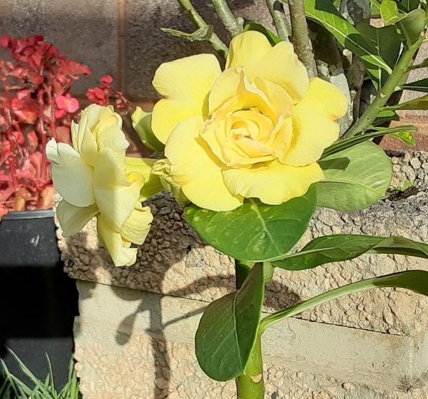 Name:  desert_rose_yellow_crop6x6.jpg Views: 13 Size:  159.9 KB