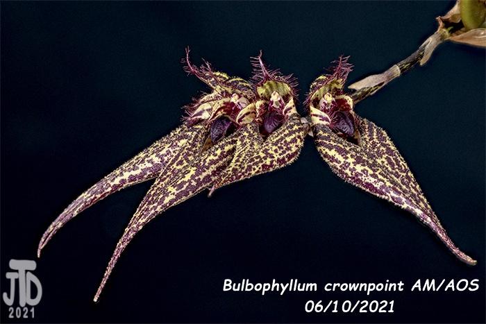 Name:  Bulbophyllum crownpoint AMAOS4 06102021.jpg Views: 20 Size:  136.1 KB