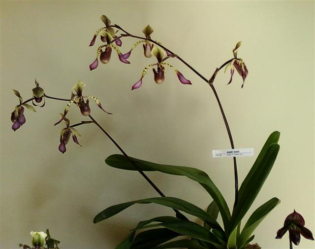 Name:  paph lowii (Small).jpg