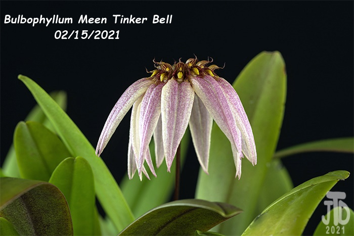 Name:  Bulbophyllum Meen Tinker Bell3 02152021.jpg Views: 63 Size:  113.3 KB