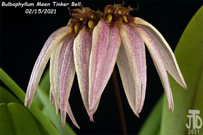 Name:  Bulbophyllum Meen Tinker Bell5 02152021.jpg Views: 64 Size:  135.0 KB