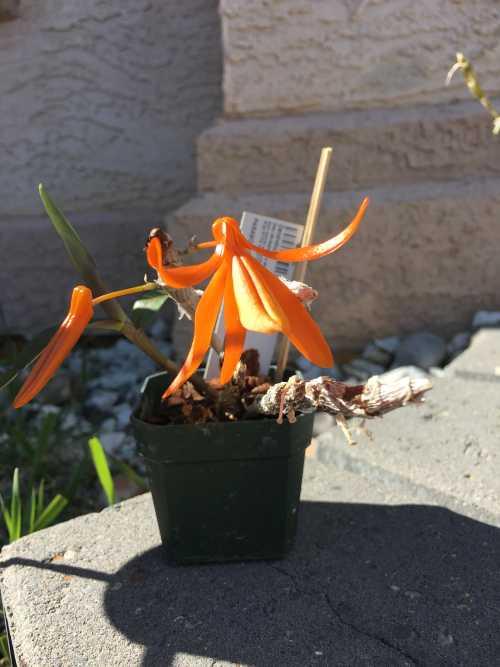 Name:  Dendrobium unicum May 2018 01.JPG Views: 101 Size:  44.6 KB