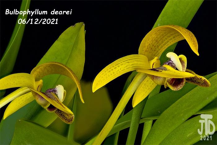 Name:  Bulbophyllum dearei2 06122021.jpg Views: 53 Size:  131.1 KB