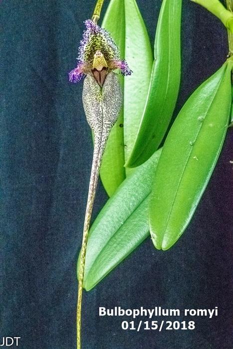 Name:  Bulbophyllum romyi1 300mm 011418.jpg Views: 147 Size:  188.6 KB