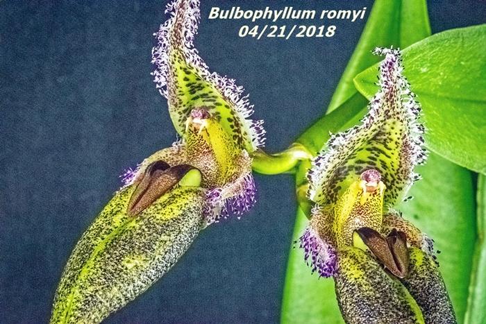 Name:  Bulbophyllum romyi2 100mm 042118.jpg Views: 113 Size:  378.0 KB