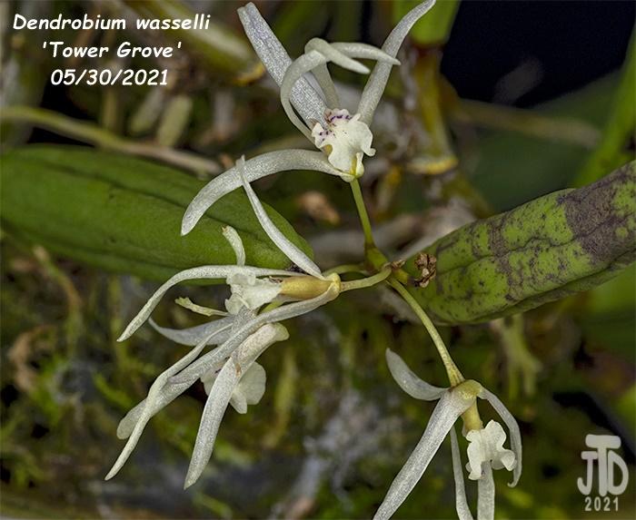 Name:  Dendrobium wassellii 'Tower Grove'4 05302021.jpg Views: 71 Size:  150.4 KB