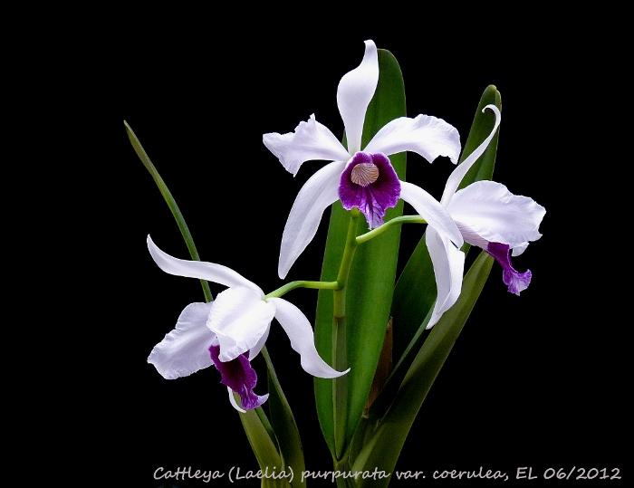 Name:  Laelia purpurata RV 06_2012 OT 2.JPG Views: 4948 Size:  108.6 KB