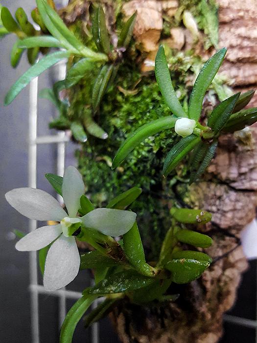 Name:  Ceratochilus biglandulosus - fiore - 2016.jpg Views: 354 Size:  399.1 KB