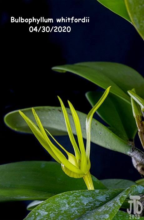 Name:  Bulbophyllum whitfordii5 04302020.jpg Views: 73 Size:  88.9 KB