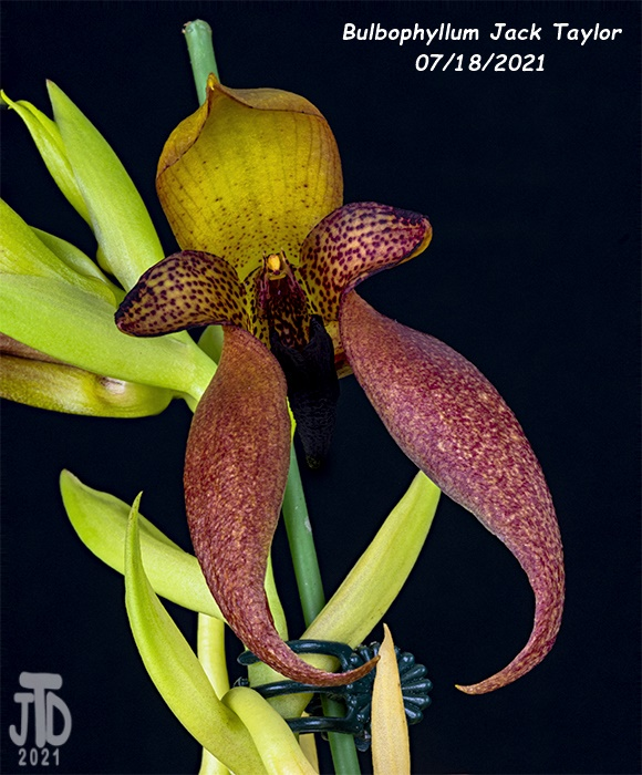 Name:  Bulbophyllum Jack Taylor5 07182021.jpg Views: 65 Size:  171.1 KB