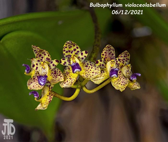 Name:  Bulbophyllum violaceolabellum3 06112021.jpg Views: 101 Size:  146.3 KB